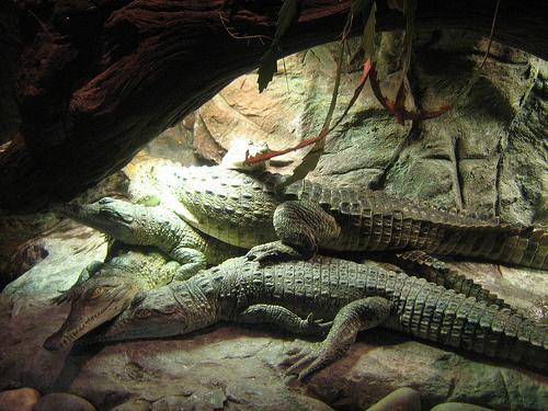 orinoco-krokodil-kepek