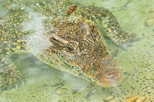 rombuszkrokodil-crocodylus-rhombifer