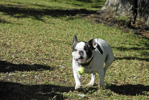bulldog-kutyus