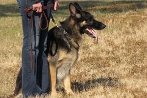Tudatos kutyanevelés módszer