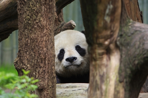 kukkolo-panda