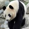 A panda az ember legújabb barátja?