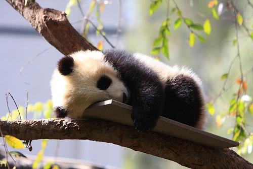 panda-kolyok