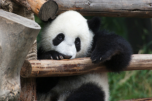 panda-macko