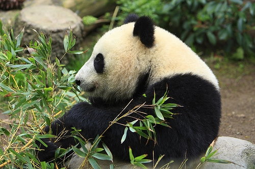 piheno-panda