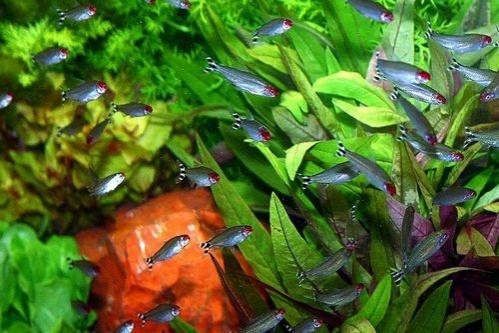 édesvízi akváriumi növények