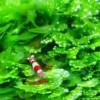 Édesvízi akváriumi dísznövények