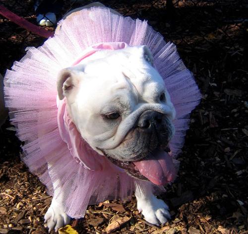 bulldog-oltoztetes