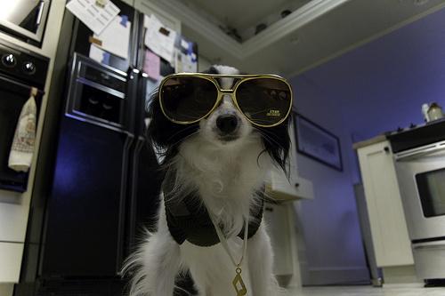 napszemuveg-kutya