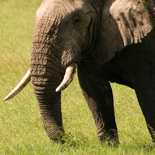 afrikai-elefant-kep