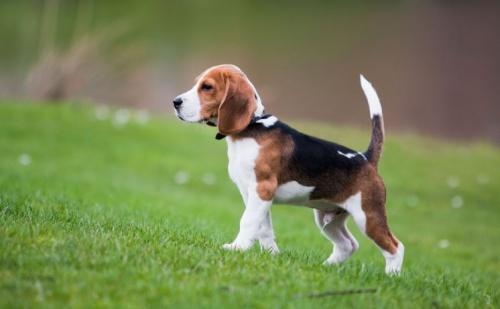 beagle_tulajdonsagok