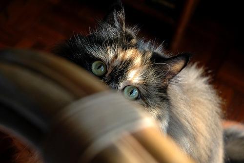 kukkolo-cica