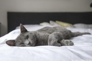 A macskával való alvás előnyei és hátrányai