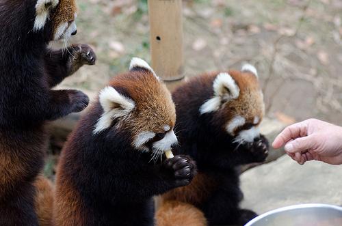 ket-voros-panda