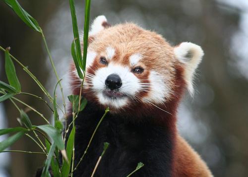 voros-panda-foto