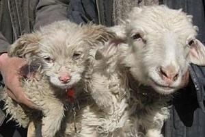 Megdöbbentő! Kutyát ellett egy bárány!