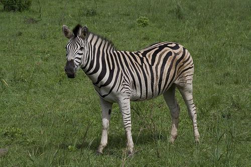alfoldi-zebra