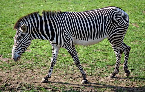 grevyi-zebra