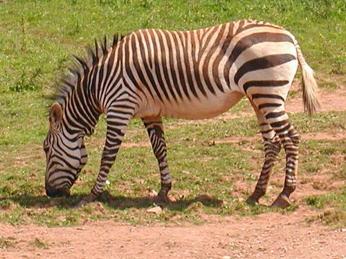 hegyi-zebra