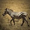 Milyen állat a zebra?