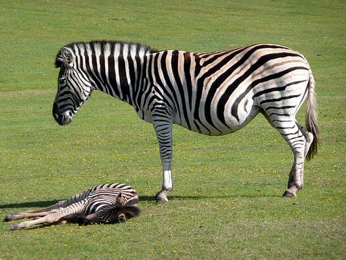 zebra-es-csikoja