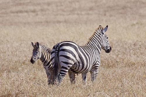 zebra-es-kicsinye