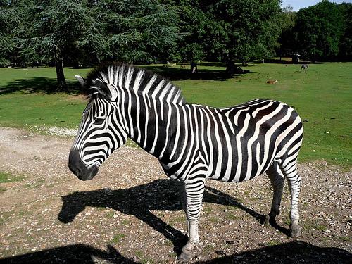 zebra-foto