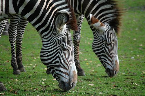zebra-kep