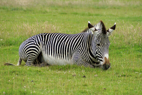 fekvo-zebra