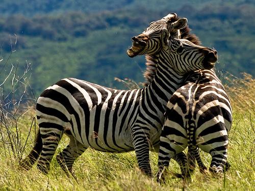 ket-zebra