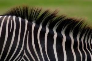 Érdekességek a zebráról