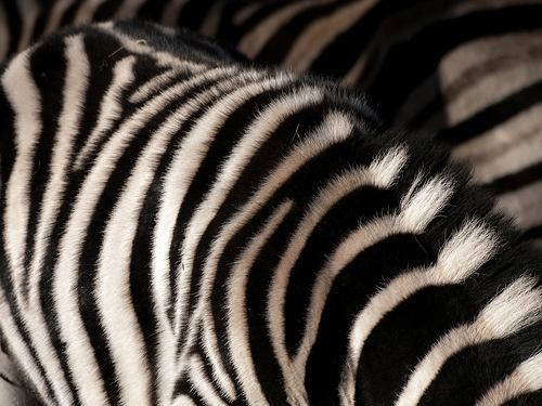 zebra-csikok