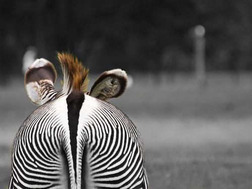 zebra-fara