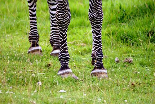 zebra-patak