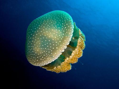 pottyos-meduza