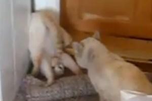 Capoeira cicás videó