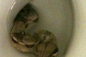 Boa bukkant elő a WC-ből