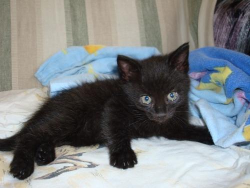 fekete-kiscica-ingyen