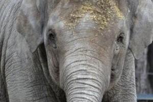 1961 után ismét születhet elefánt a Budapesti Állatkertben?