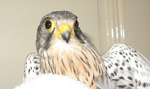 falco-tinnunculus