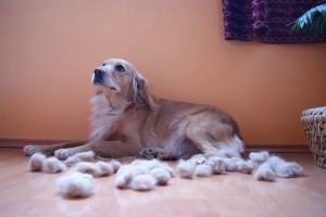 Mit tegyek ha vedlik a kutyám?