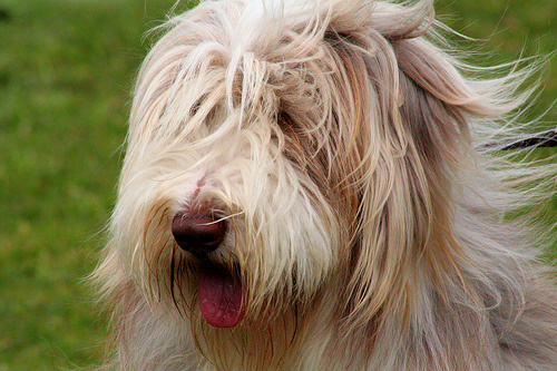 szoros-kutya