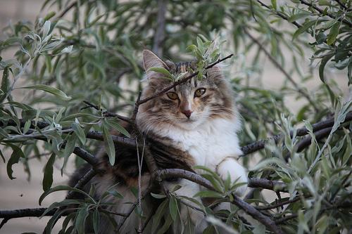 erdei-macska