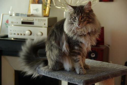 hosszuszoru-macska