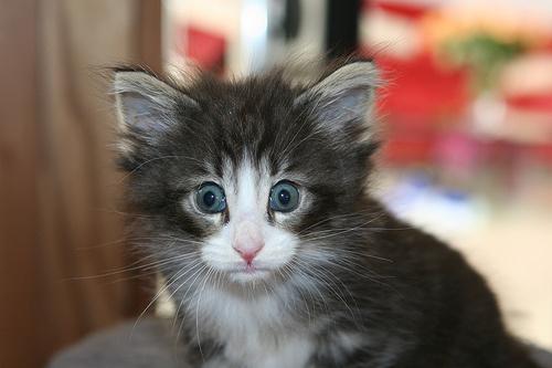 norveg-macska