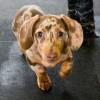 Vitiligo (Leucopathia acquisita) vagy bőrpigmenthiány a kutyáknál