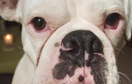 pigmenthiany-kutya