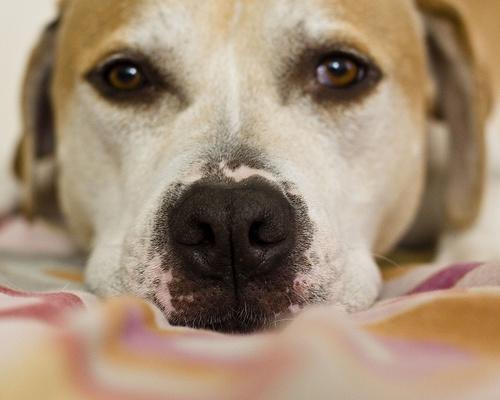 vitiligo-kutya