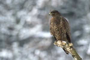 A 2012-es év madara: az egerészölyv (Buteo buteo)