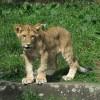 Oltást kapott a nyíregyházi oroszlánkölyök